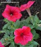 red petuniasss1