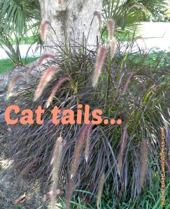 cat tails 3 x