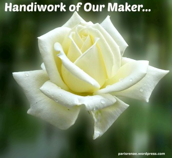 white rose pixa x